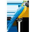 Pappagallo Ara gialloblu ##STADE## - piumaggio 5