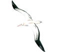 Albatros ##STADE## - piumaggio 5