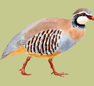 Accogli un uccello di specie pernice rossa