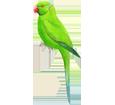 Parrocchetto verde ##STADE## - piumaggio 72