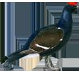 Gallo cedrone ##STADE## - piumaggio 51