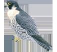 Falco pellegrino ##STADE## - piumaggio 29